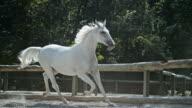 SLO MO LD White horse galloping in longe video