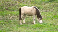 White Horse Grazing Grass On a Green Meadow in the Countryside video