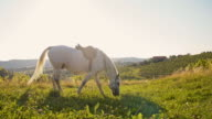 SLO MO White horse grazing on meadow video