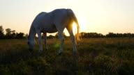 White horse grazing on the meadow at sunset. Horse is eating green grass in the field. Close up video