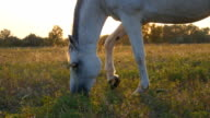 White horse grazing on the meadow. Horse is eating green grass in the field. Close up video