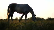 White horse grazing on the meadow. Horse is eating green grass in the field. Close up. Steadicam shot video