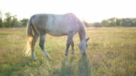 White horse grazing on the meadow. Horse is walking and eating green grass in the field. Close up video