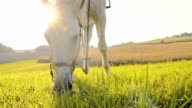 SLO MO White horse grazing on the pasture video