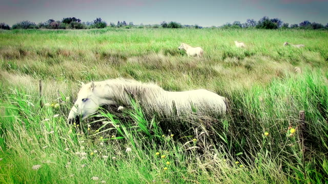 white horse in camargue video