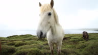 White Horse in Iceland Highlights video