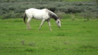 White horse in pasture walking video