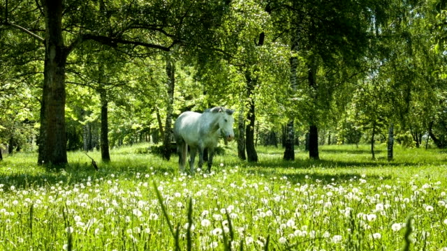 White horse video