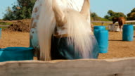 White horse with a burlap sack that covering his eyes eat hay at the ranch. video