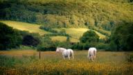 White Horses Grazing On Summer Evening video