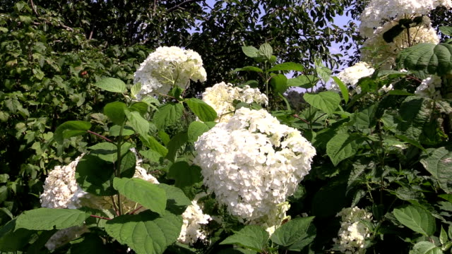 white hydrangea inflorescences bunch on windy summer day video