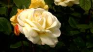 White Irish rose 1 video