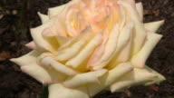 White Irish rose 6 video