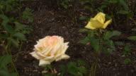 White Irish rose 7 video
