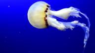 white jellyfish video