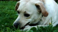 A white labrador eating a toy video