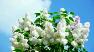 White lilac flower inflorescence front of blue sky video
