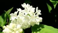 White Lilac video