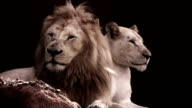 White Lion and Lioness video
