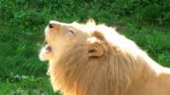 White Lion Roaring video