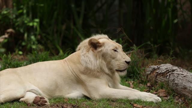 White lion video