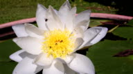 White lotus and bee on the pond video