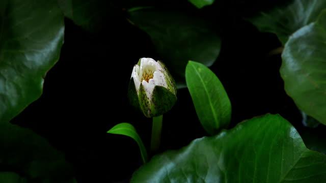 White Lotus blooming (Timelapse) video