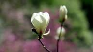 white magnolia flowers video