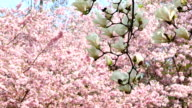 White Magnolia in front of Cherry Tree video