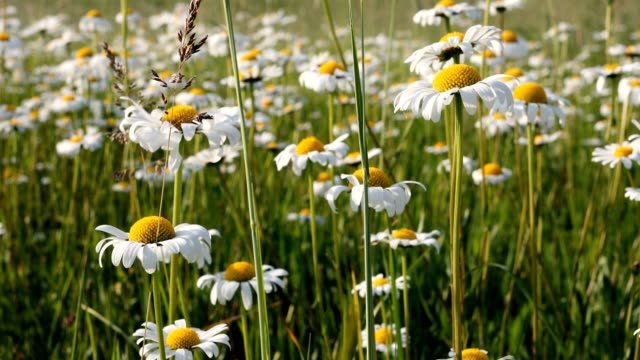 white marguerite or daisy flower on meadow in spring breeze video