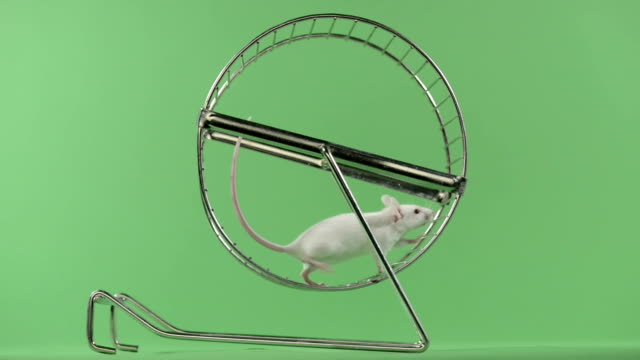 White mouse running in a wheel, green key video