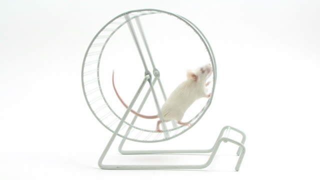 White mouse running in a wheel video