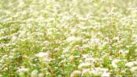 MS PR white mustard flower field in nature video