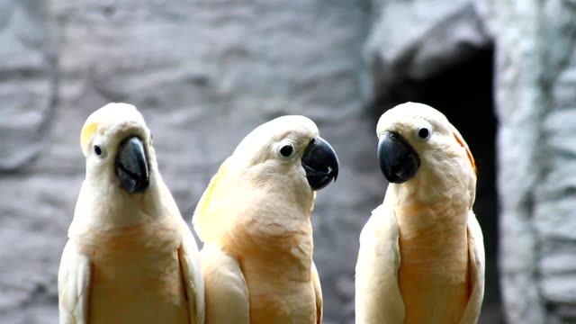white parrot, cockatoo video