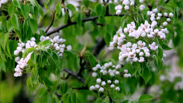 White pear blossom trusses with new green leaves, trembling in the spring light wind. video