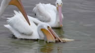 White Pelicans Battling Over a Fish video