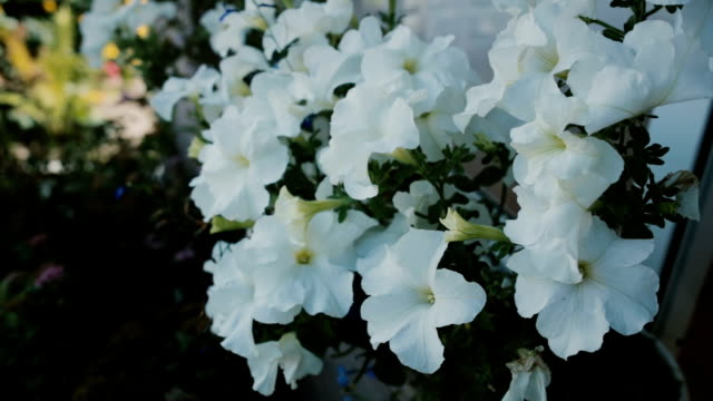 White petunia at floral bed wave on the wind. Spring bright day, nature background. Garden near the house. Close-up view video