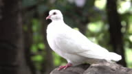 White Pigeon Close Up video