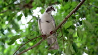White pigeon sitting on tree branch video