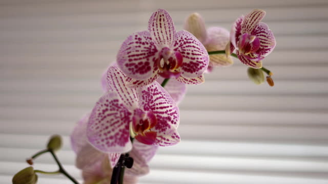 White, pink and purple orchids stand on the window in the window. A clear image in good quality 4 k. Soft background focus video