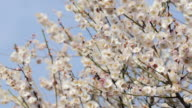White Plum Flowers,in Showa Kinen Park,Tokyo,Japan video