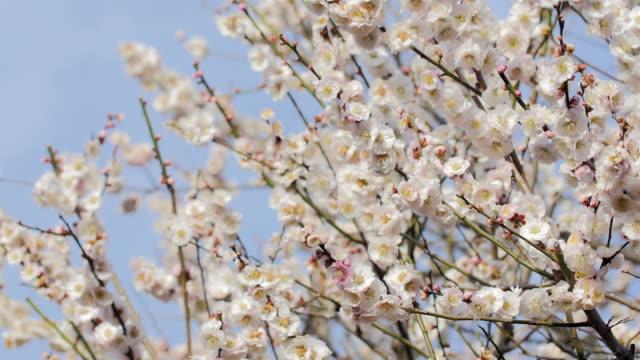 White Plum Flowers,in Showa Kinen Park,Tokyo,Japan video