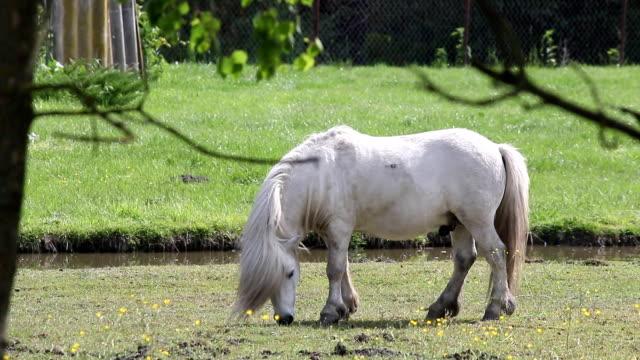 white pony horse grazing video