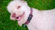 White poodle dog on green grass. Close up of white dog turn on meadow video