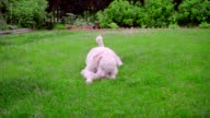 White poodle lying on green grass. Puppy playing with ball. Dog with toy video