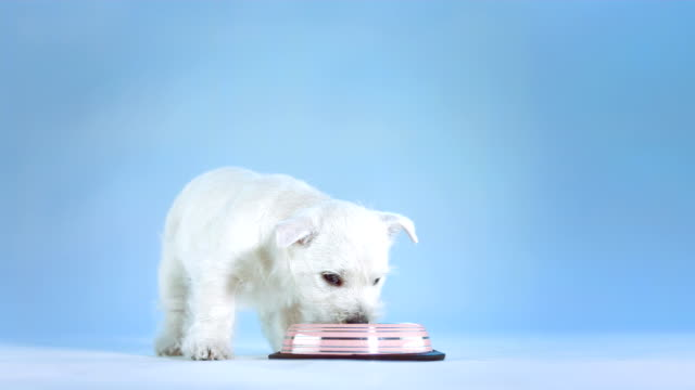 HD: White Puppy Drinking Water video