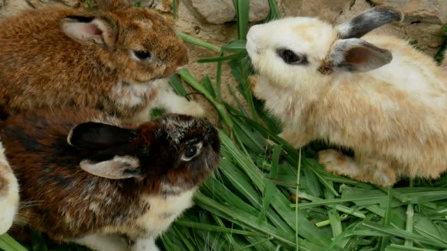 white rabbit eating grass video