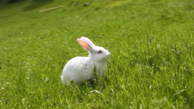 White rabbit video