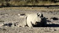 White Rhino Resting video