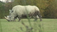 White rhino video